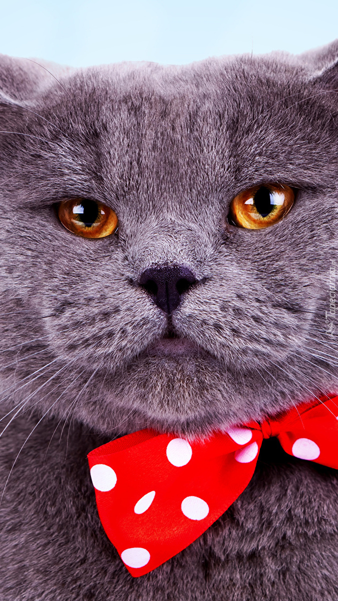 Kot brytyjski krótkowłosy z muszką
