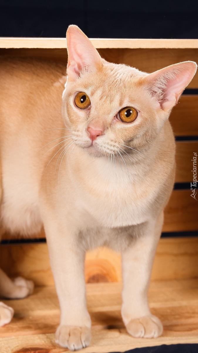 Kot burmański w skrzynce