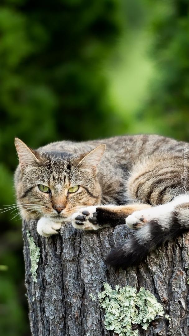 Kot leżący na pniu