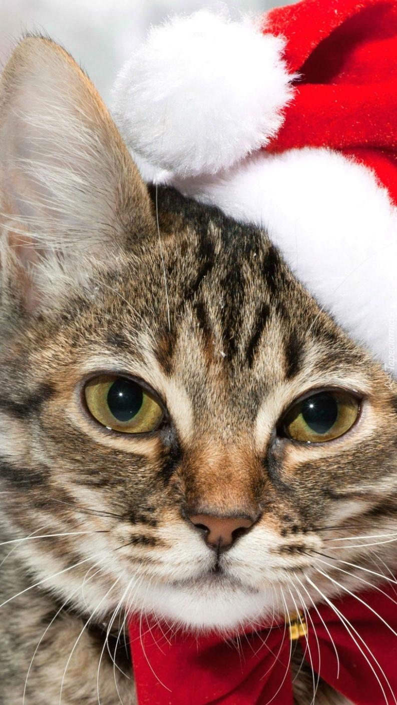 Kot Mikołaj