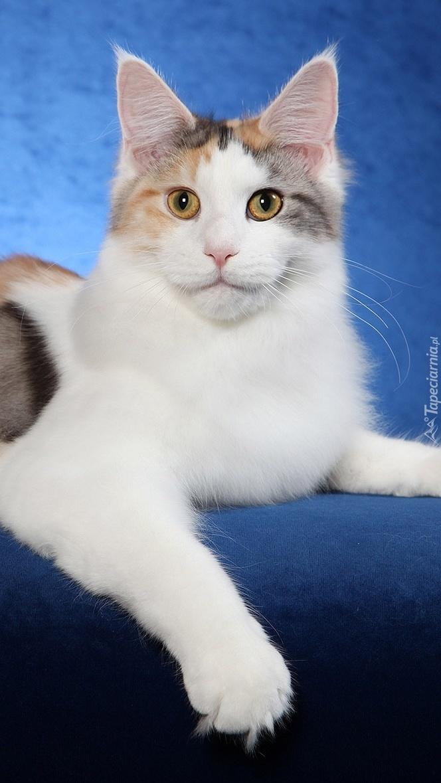Kot norweski leśny