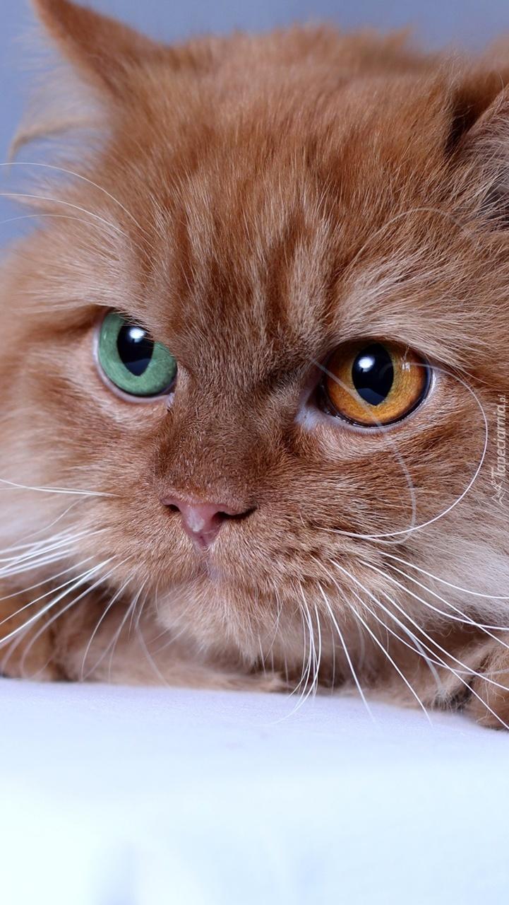 Kot o dwukolorowych oczach