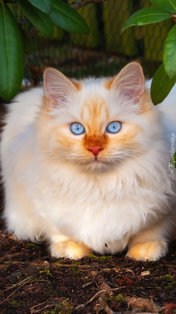 Kot o niebieskich oczach