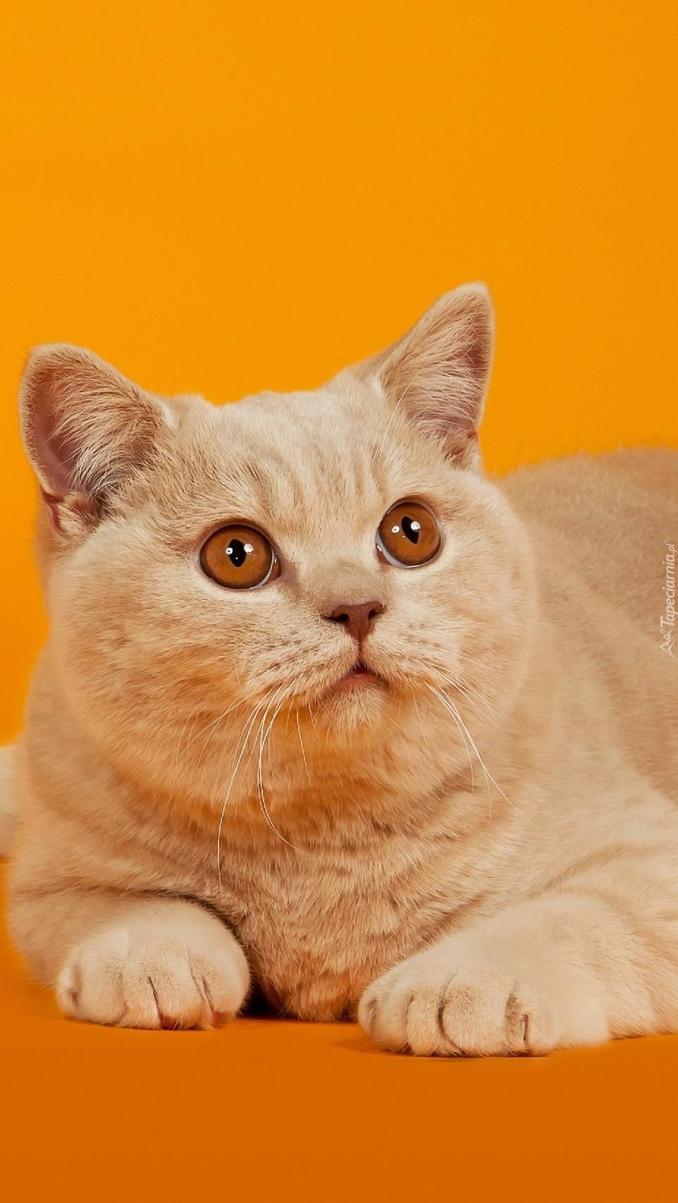 Kot o zaciekawionym spojrzeniu