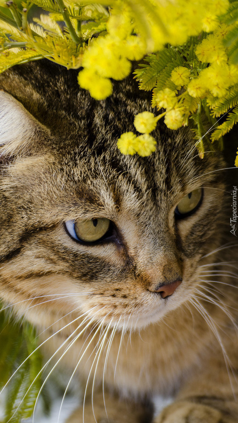 Kot pod gałązkami akacji srebrzystej