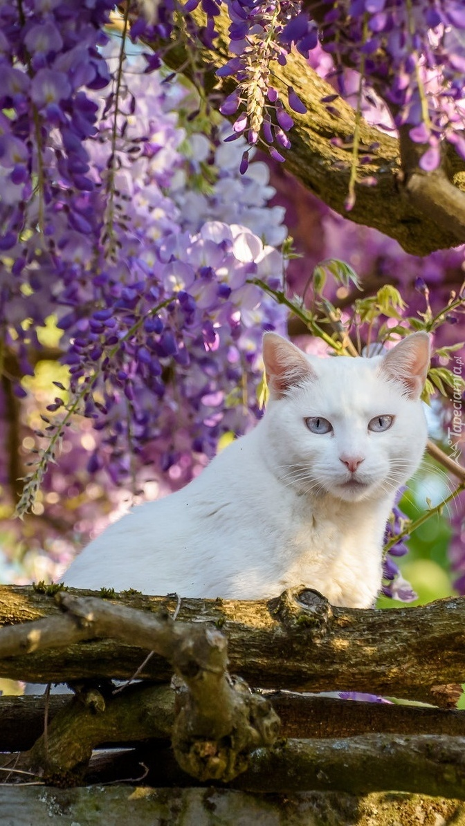 Kot pod kwiatami glicynii