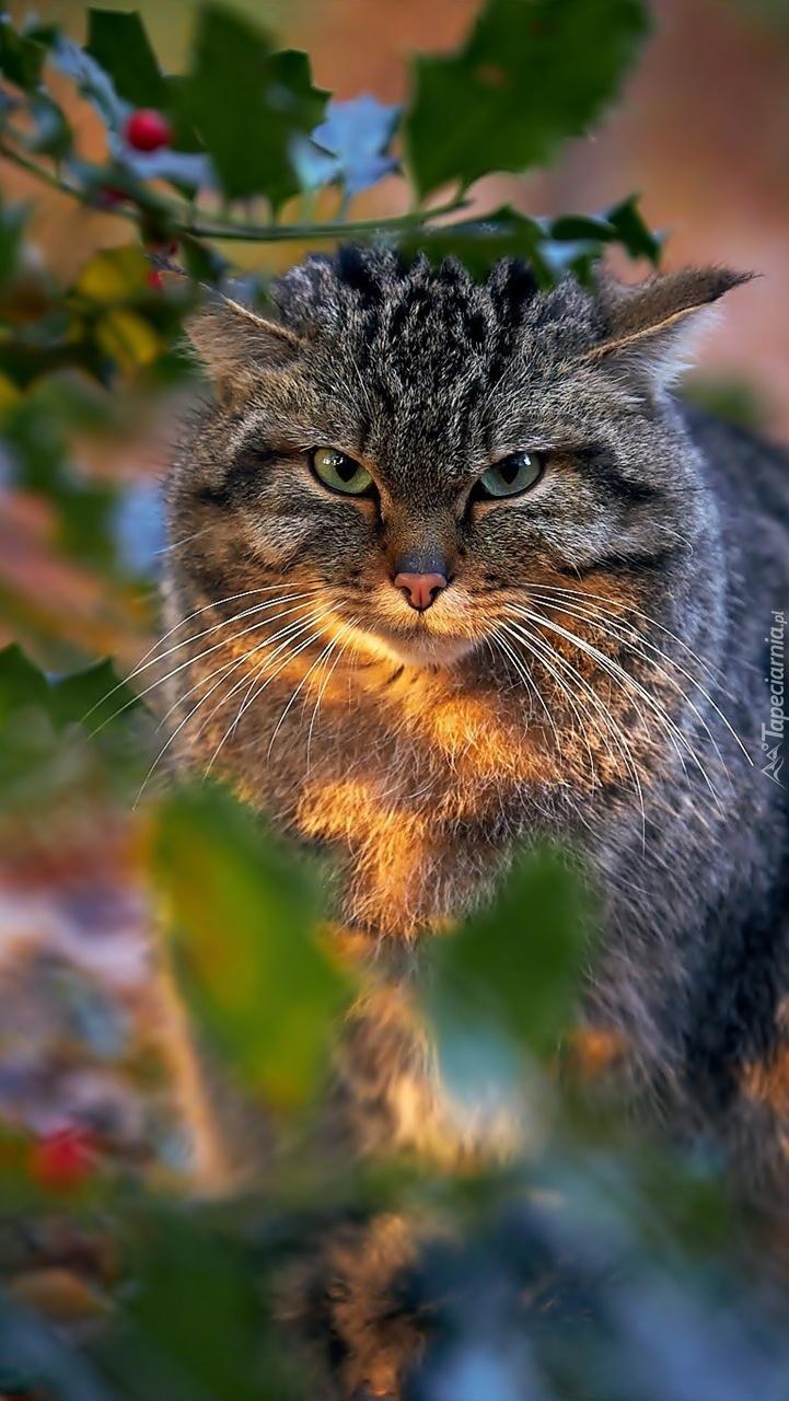 Kot pod ostrokrzewem