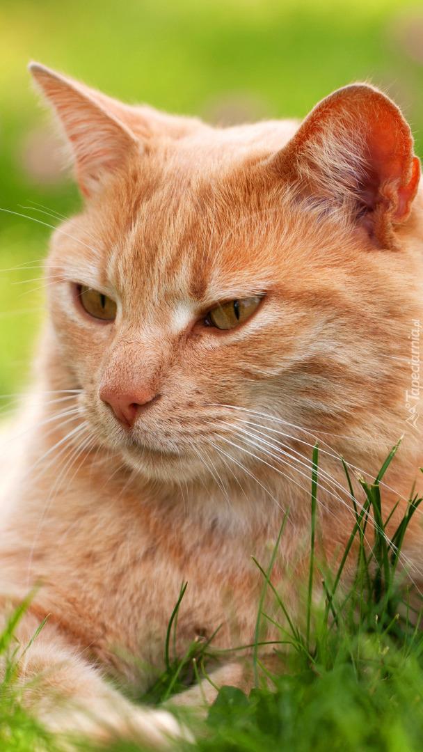 Kot rudzielec
