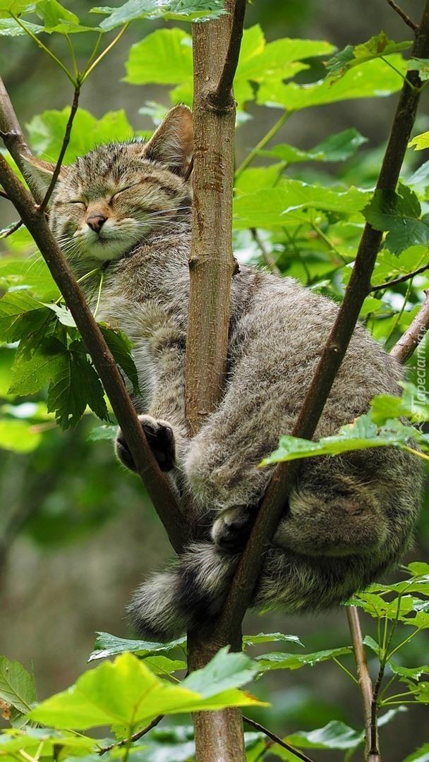 Kot śpiący na drzewie