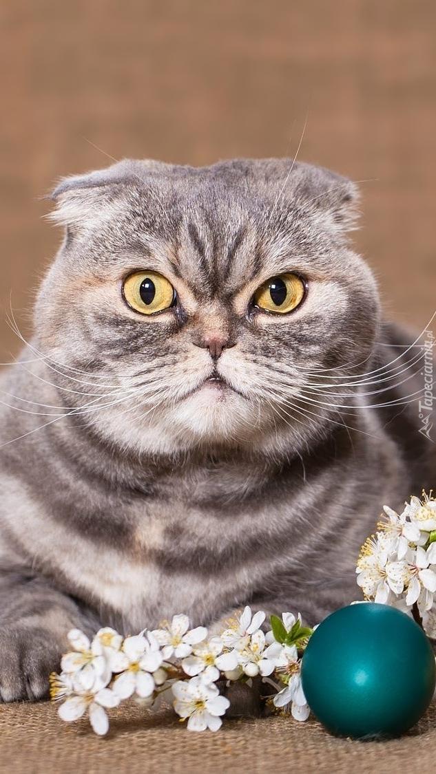 Kot szkocki zwisłouchy obok pisanki