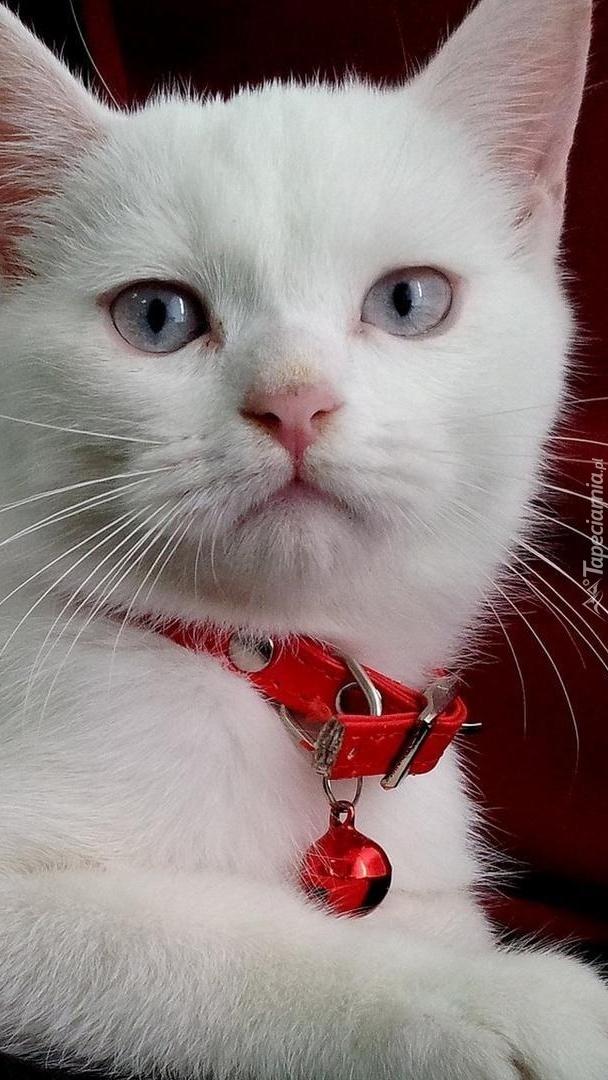 Kot w czerwonej obroży