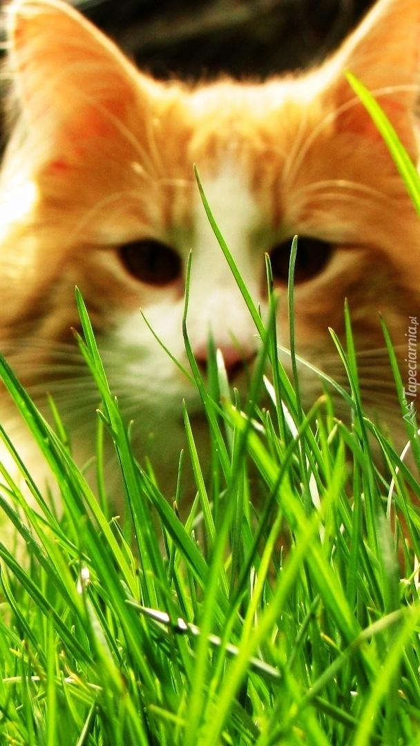 Kotek norweski w trawie