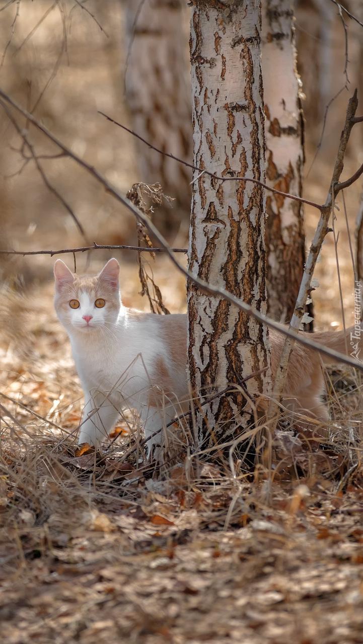 Kotek przy brzozie
