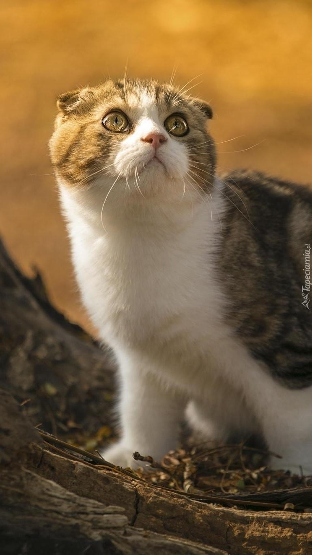 Kotek szkocki spogląda w górę