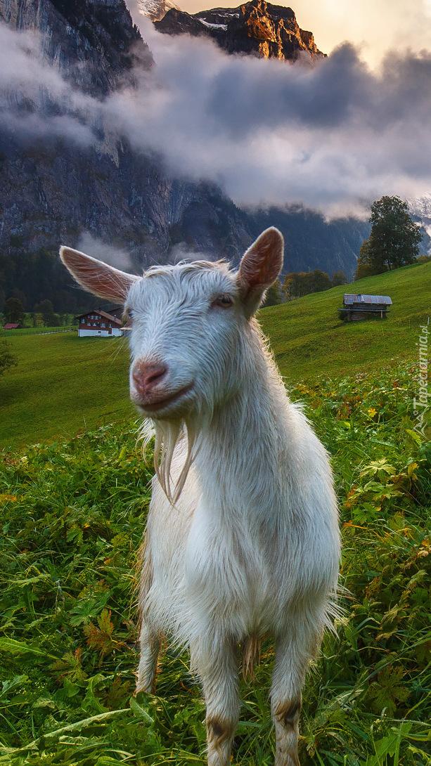 Koza na łące