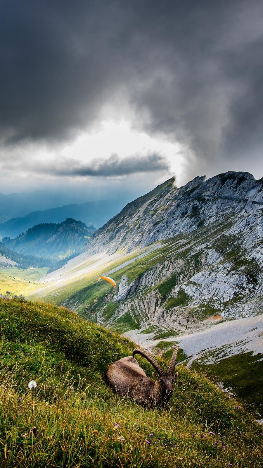 Kozioł na trawie w górach
