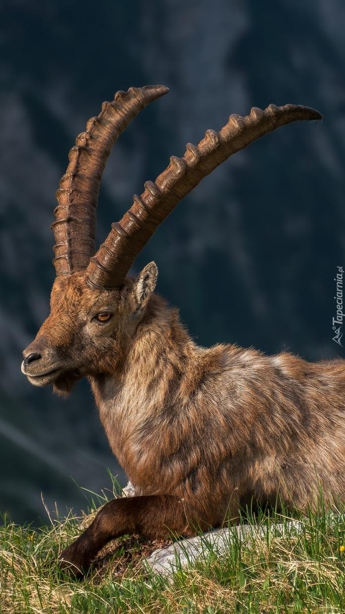 Koziorożec alpejski