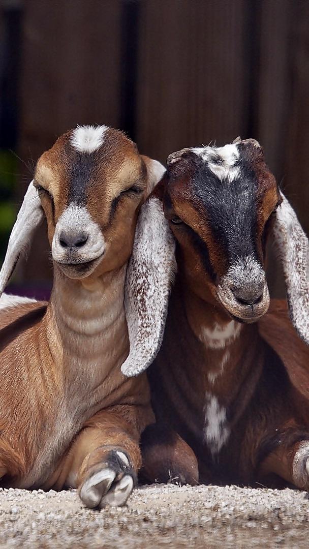 Kozy rasy anglonubijskiej