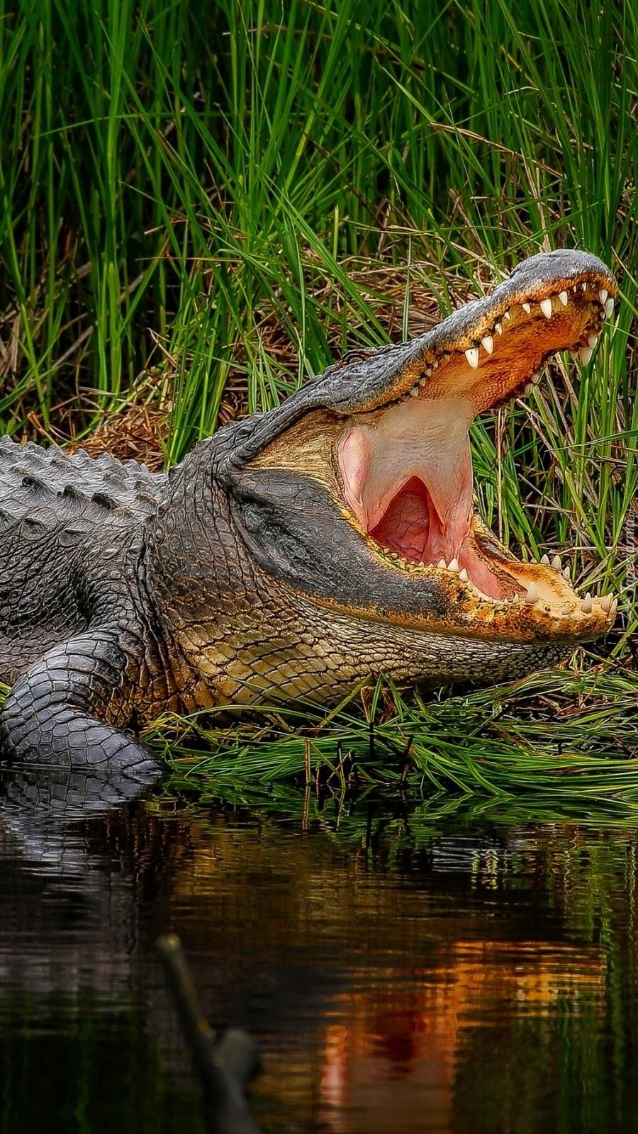 Krokodyl z otwartą paszczą nad wodą