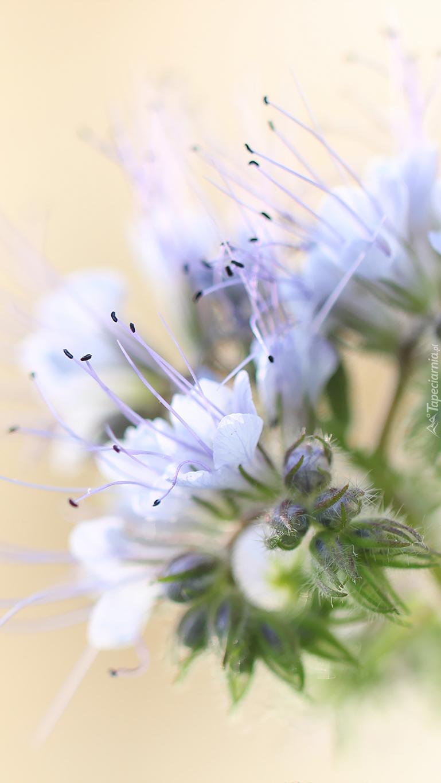 Królowa roślin miododajnych