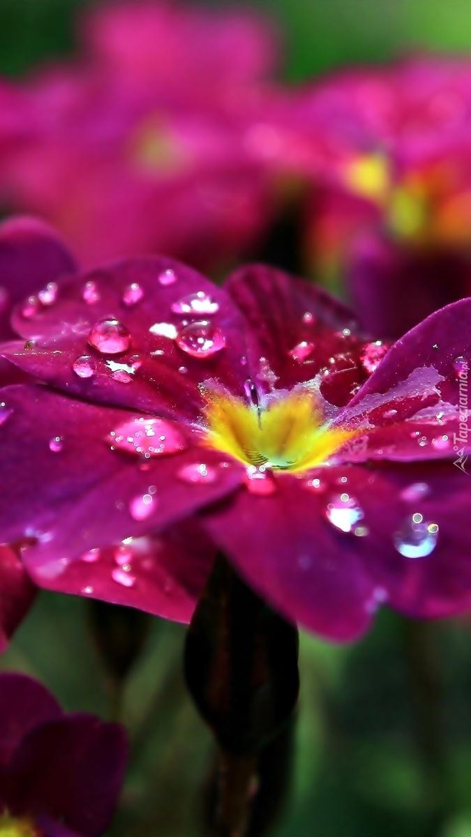 Kropelki deszczu na płatkach kwiatu