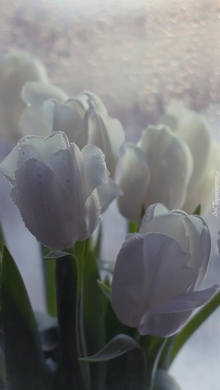 Krople na białych tulipanach