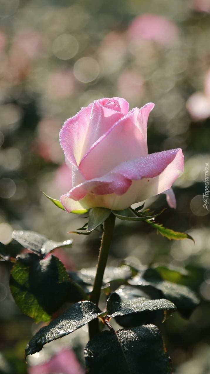 Krople rosy na płatkach róży