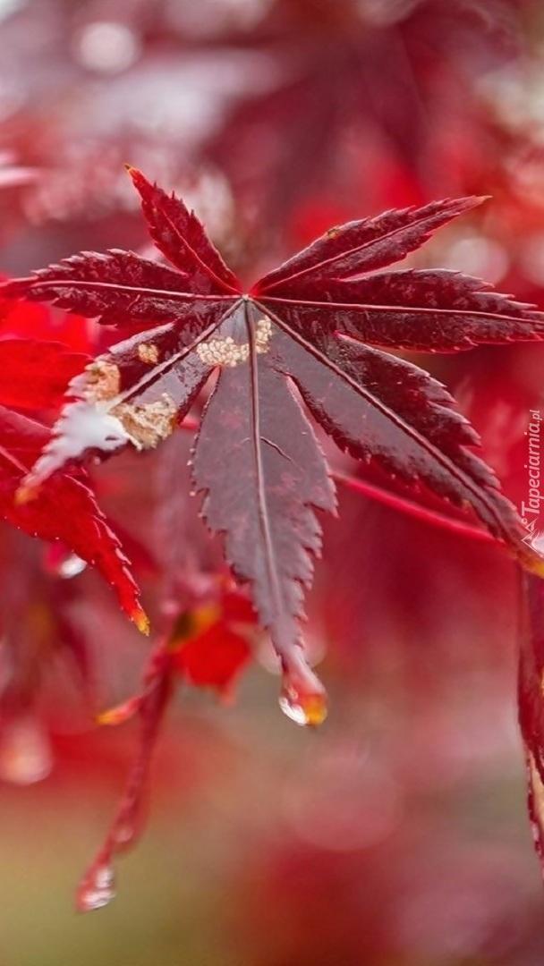 Krople spływające z czerwonego liścia klonu