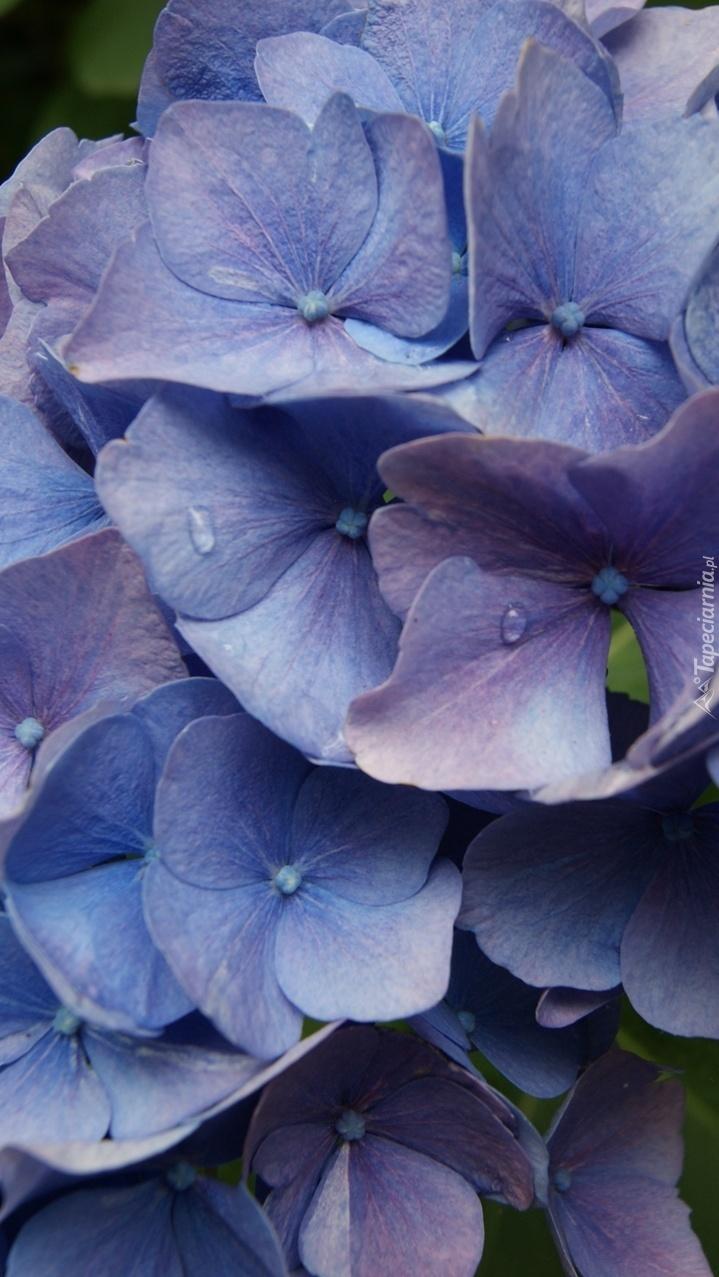 Krople wody na niebieskich kwiatach hortensji