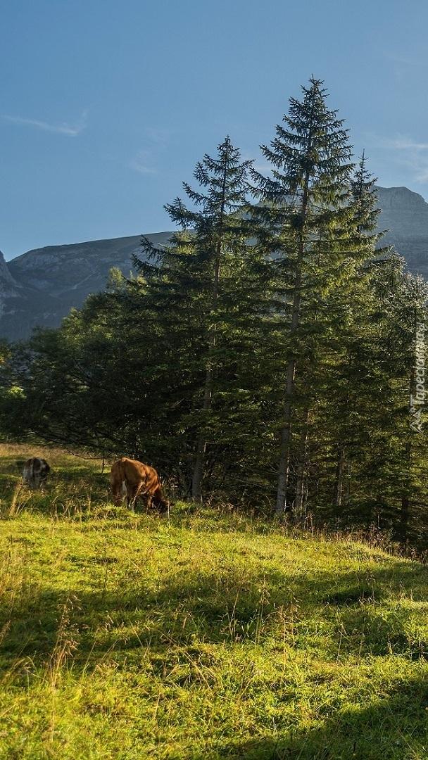 Krowa na górskim pastwisku