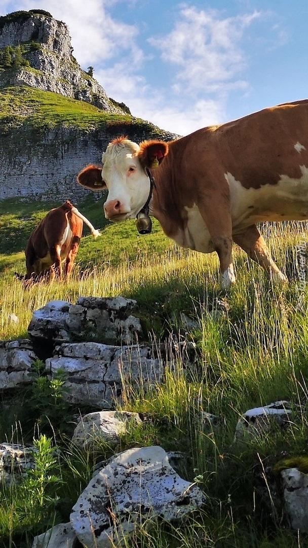 Krowy na łące w górach