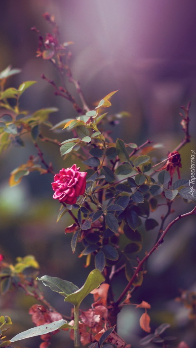 Krzaczek róży kłujący nieduży