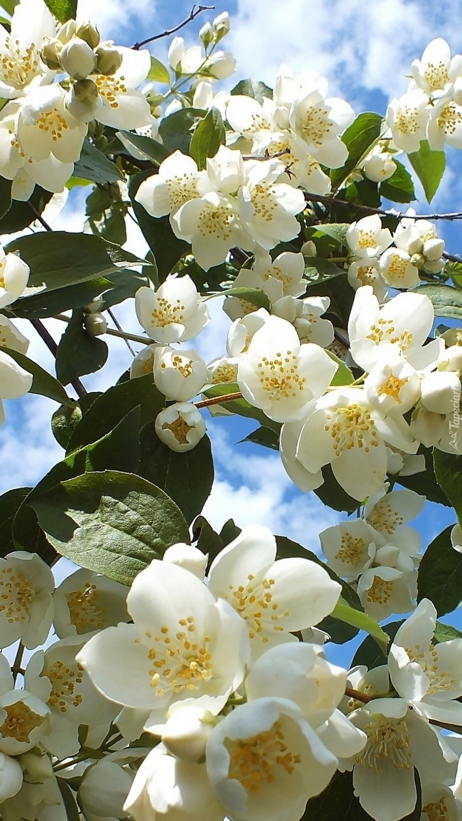 Krzew białego jaśminu