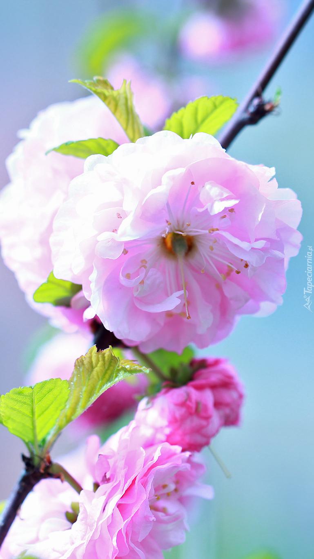 Krzew migdałka różowego