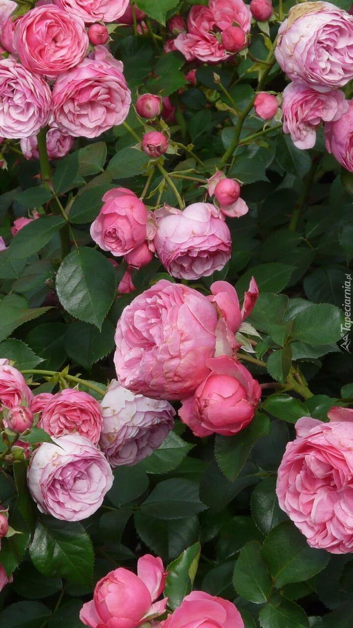 Krzew różowych róż