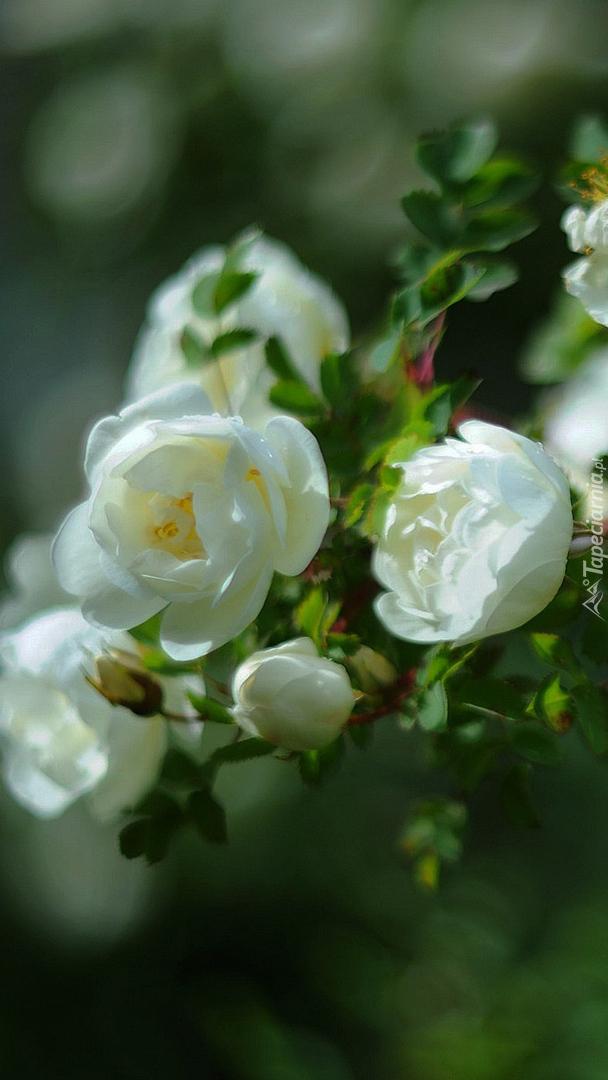 Krzew z białymi różami