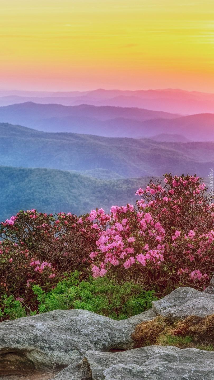 Krzewy różanecznika na skałach