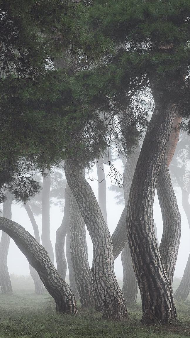 Krzywe drzewa we mgle