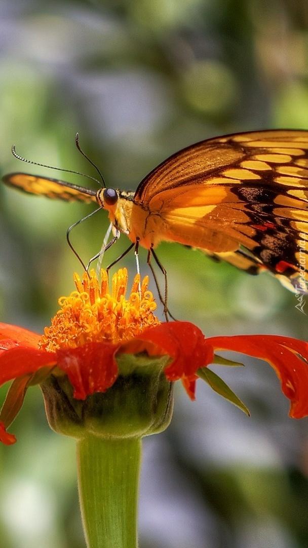 Kwiat aksamitki z motylem