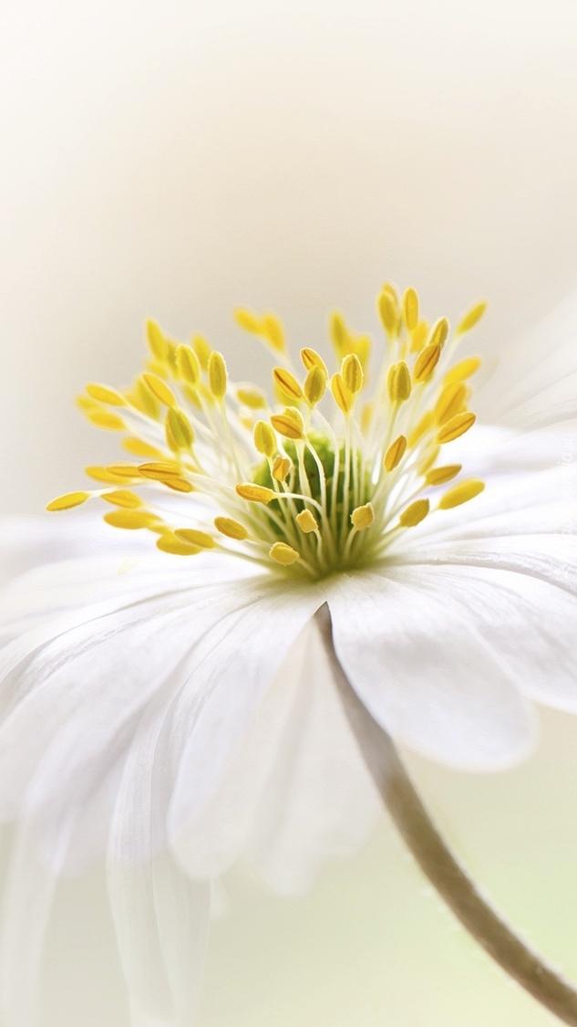 Kwiat białego zawilca gajowego
