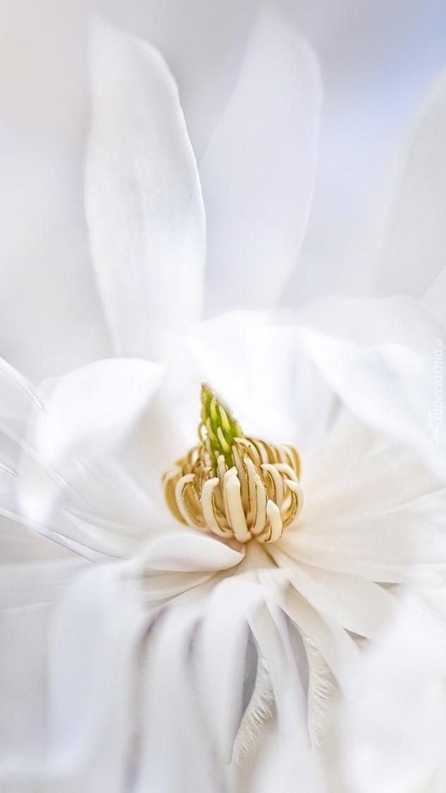 Kwiat białej magnolii