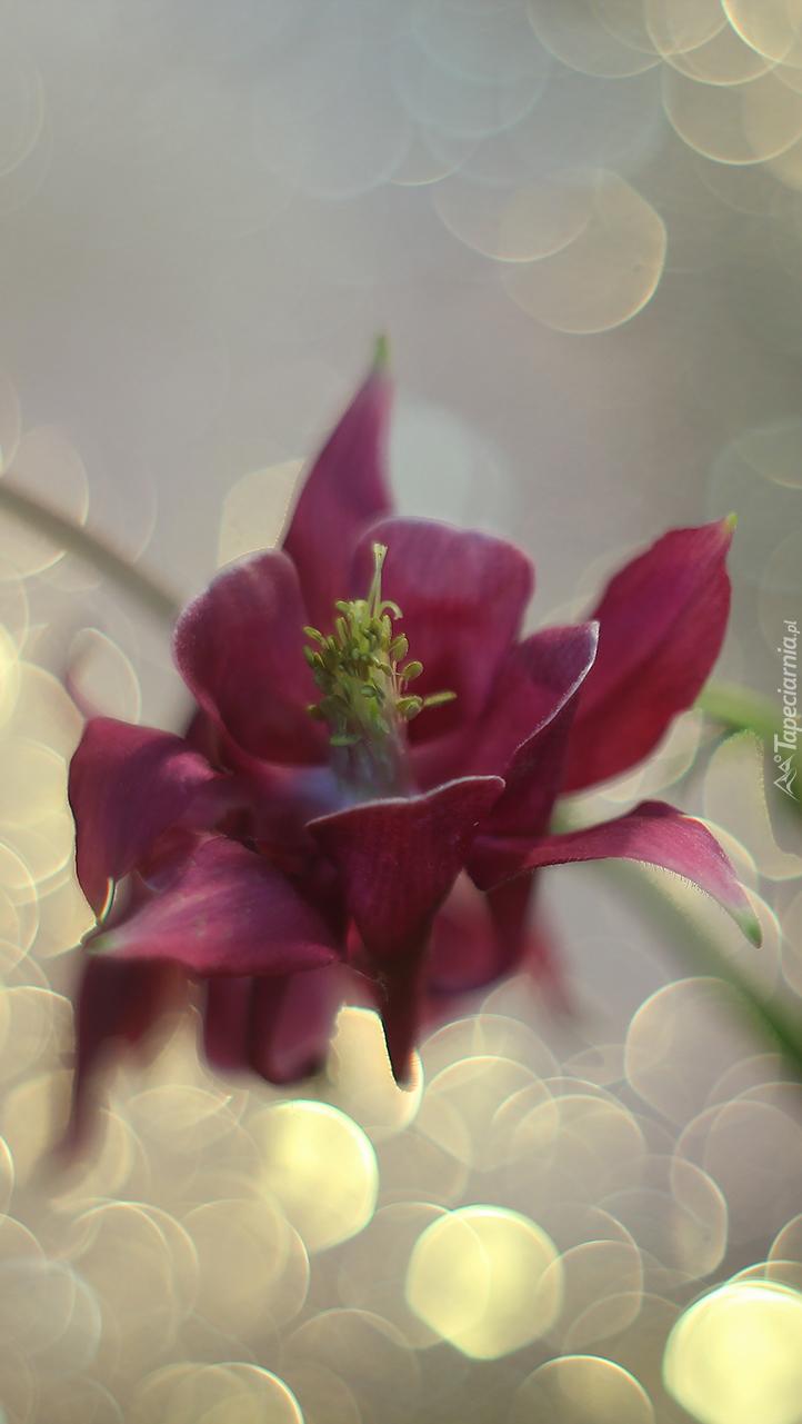 Kwiat bordowego orlika