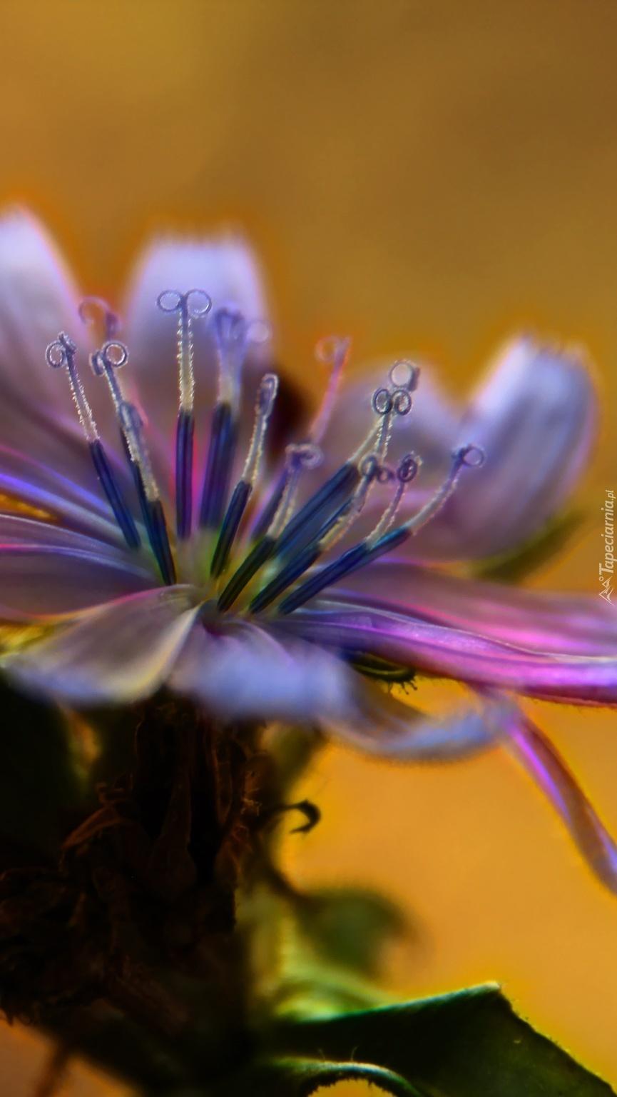 Kwiat cykorii