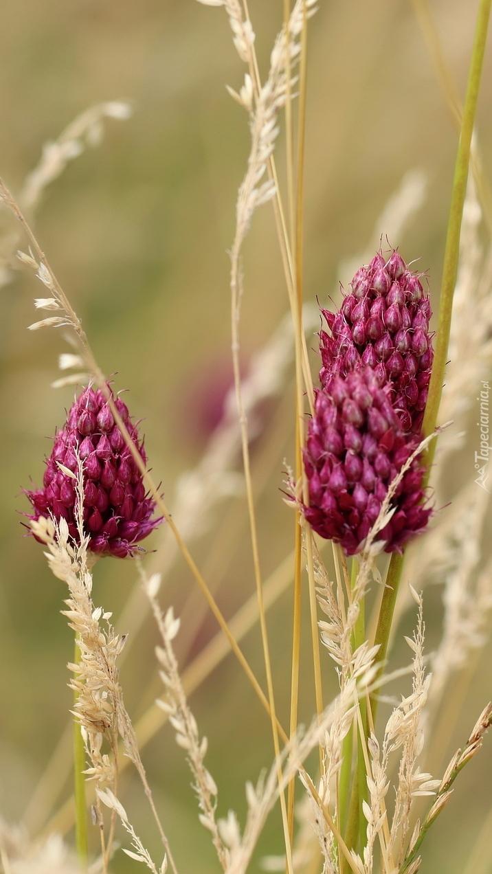 Kwiat czosnku główkowatego