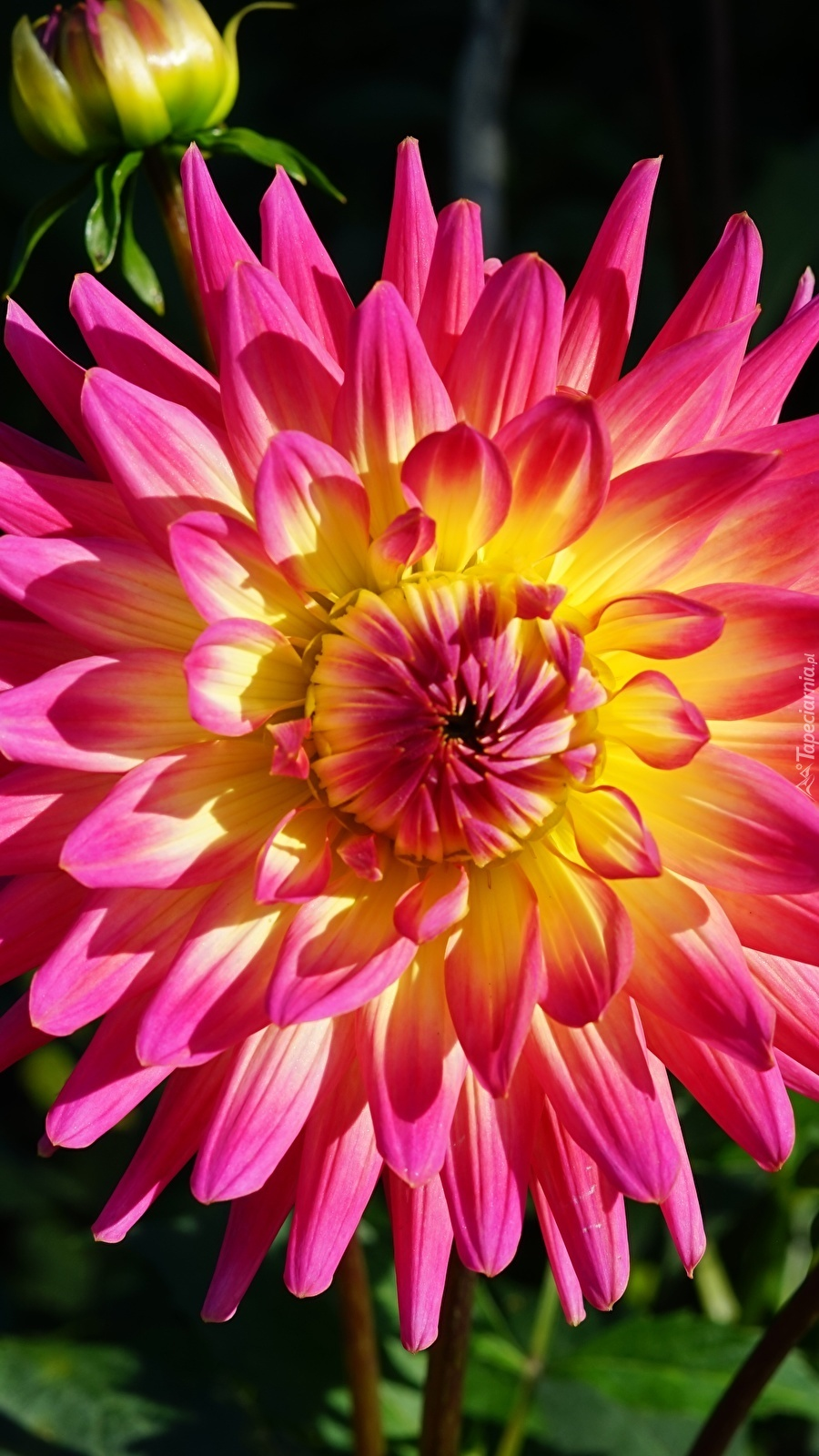 Kwiat dalii