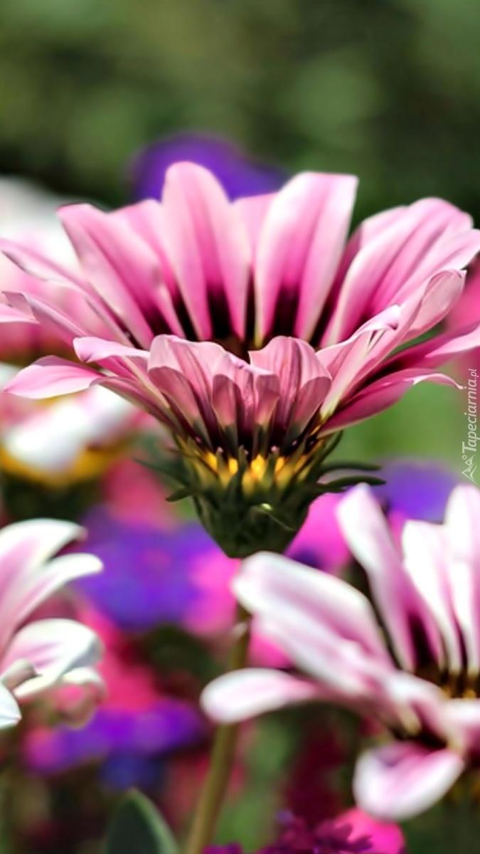 Kwiat gazanii