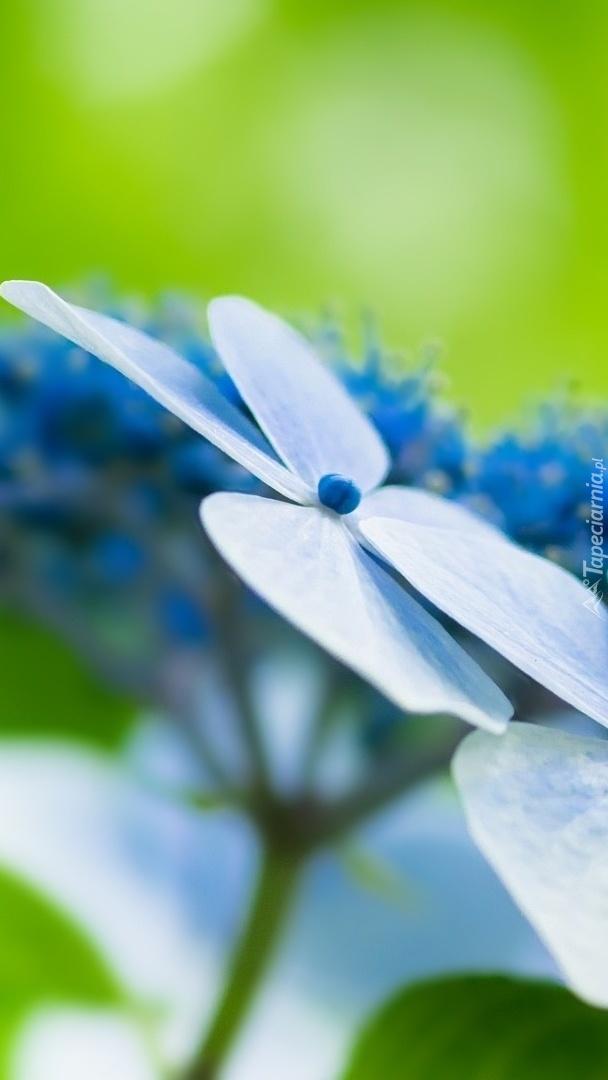 Kwiat hortensji w makro