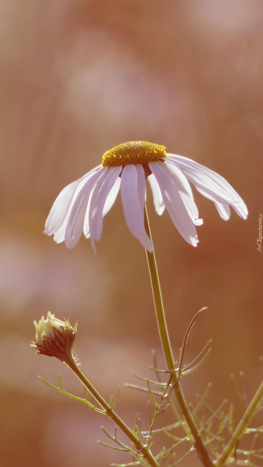 Kwiat i pąk rumianku