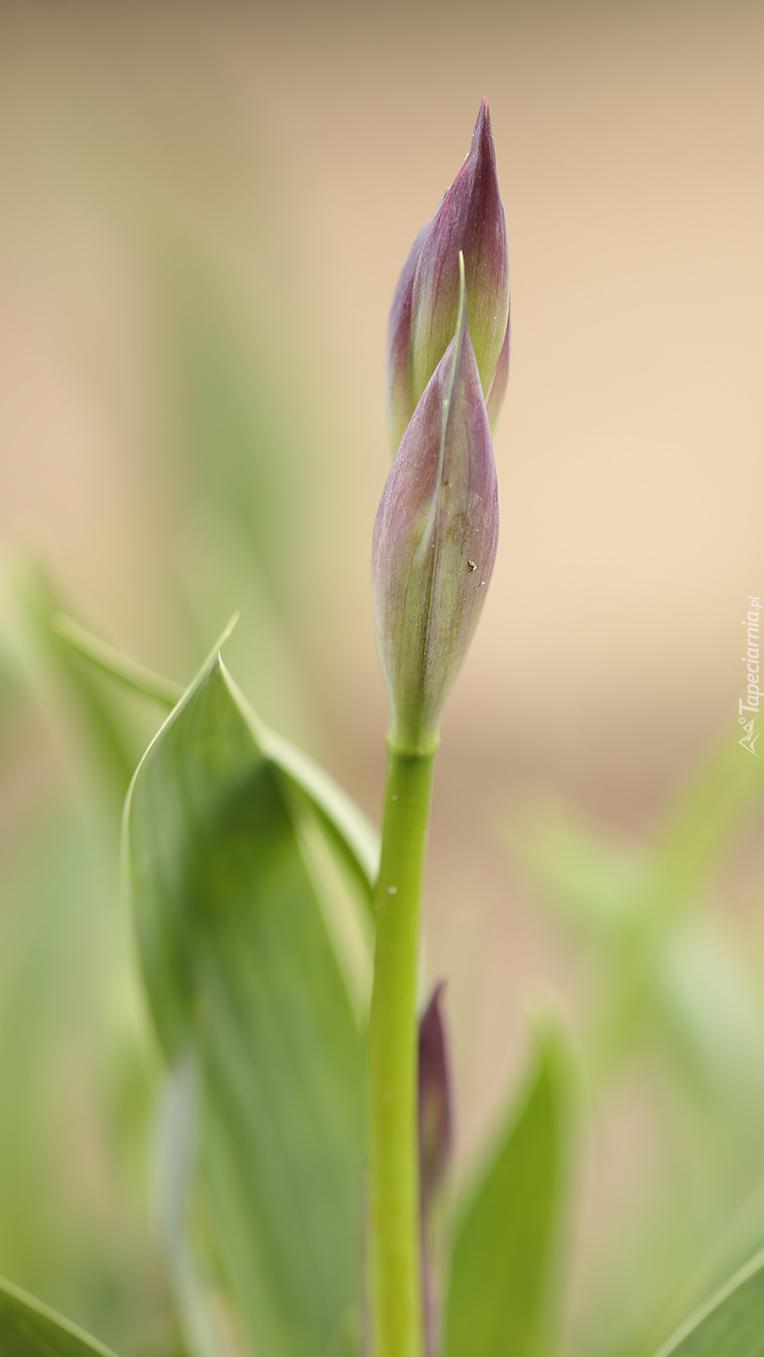 Kwiat irysa w pąkach