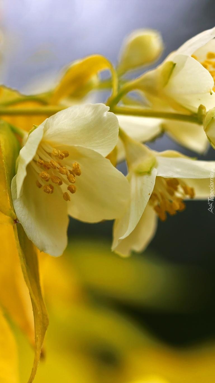 Kwiat jaśminu na krzewie